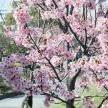博物館・美術館と佐賀城本丸歴史館の間の桜が咲いています