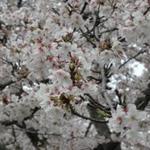 佐賀城公園の桜