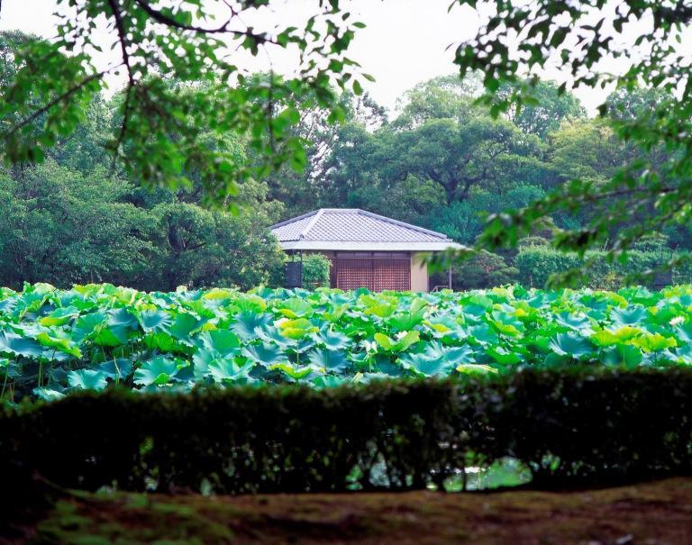 佐賀城南堀のハス