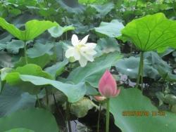 南堀端の蓮の花(アップ)