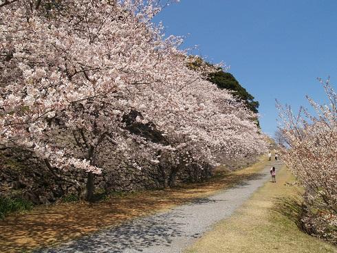桜が満開のころの名護屋城跡