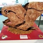 ゴールデンウィークは、博物館テーマ展「化石-生き物のあゆみ-」へ!