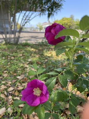 佐賀城公園の花々(バラ)