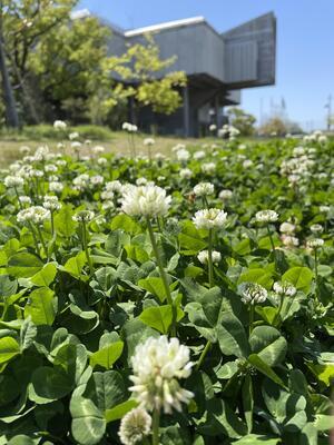 佐賀城公園の花々(シロツメクサ)