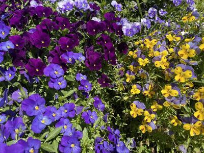 佐賀城公園の花々(ビオラ)