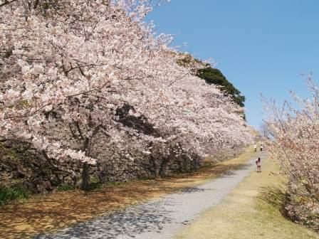 名護屋城跡の桜1