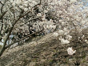 大手口の桜
